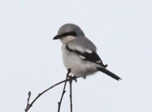 Varfågel, Stora Amundö