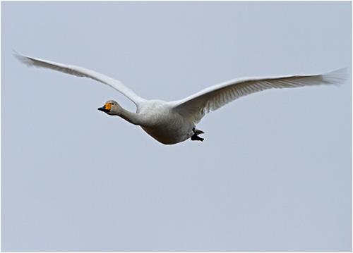 Överflygande sångsvan vid Stora Amundö