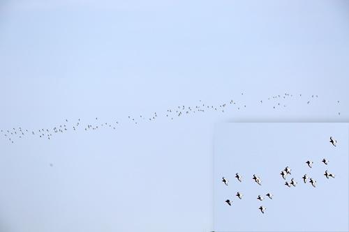 En flock om minst 150 strandskator utanför Havshuvudet, Stora Amundö