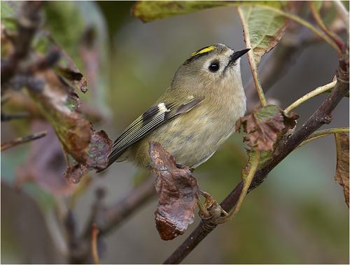 KUngsfågel, Sveriges minsta fågel