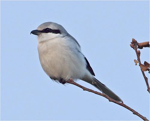 Varfågeln är kvar på Stora Amundö