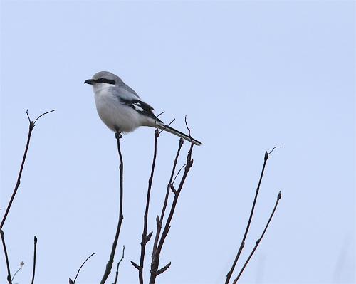 Varfågel på norra strandängen på Stora Amundö