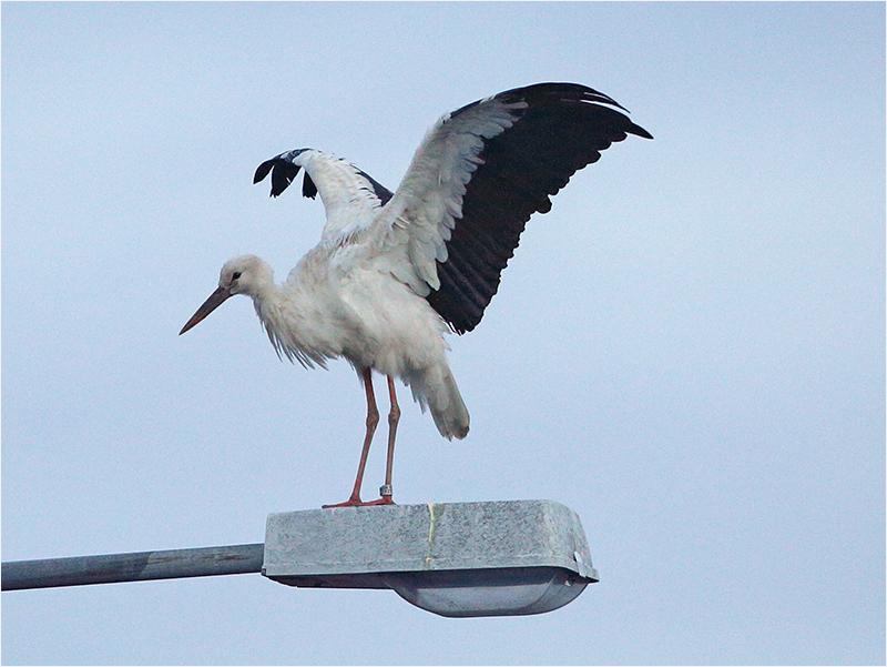 Vit stork, Skintebo